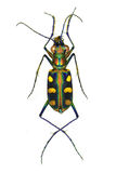 Golden Spotted Tiger Beetle Stock Image