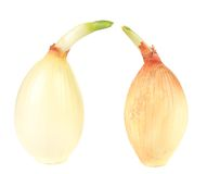Golden sprouting ripe onions. Royalty Free Stock Image