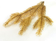 Golden spruce Stock Image