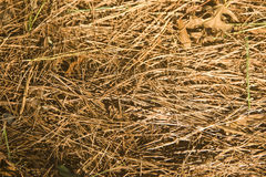 Golden Spruce and pine needles lying on the ground even layer. The fallen needles of coniferous trees shrouded the ground. They have a Golden hue, soft but stock photo