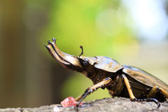 Golden stag beetle Stock Photography