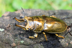 Golden stag beetle Stock Photo
