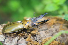 Golden stag beetle in Myanmar Stock Images