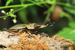 Golden stag beetle in Myanmar Royalty Free Stock Photography