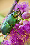 Golden Stag Beetle on pink Callistemon flower Stock Images