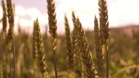 Golden stalks on a cornfield stock video