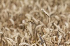 Golden staple crop wheat field at harvest time in autumn Royalty Free Stock Images