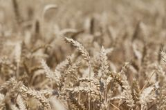 Golden staple crop wheat field at Thanksgiving time in autumn Royalty Free Stock Photography