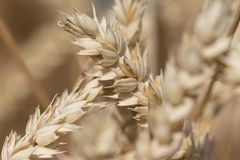 Golden staple crop wheat at harvest for Thanksgiving in autumn Royalty Free Stock Photography