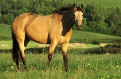 A Golden Steed Royalty Free Stock Image