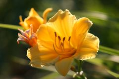 Golden Stella de Oro Daylily stock photography