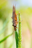 Golden Stonefly Salmonfly Hatch Deschutes Royalty Free Stock Photos