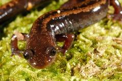 Golden-striped salamander Chioglossa lusitanica Stock Image