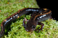 Golden-striped salamander Chioglossa lusitanica Stock Photo