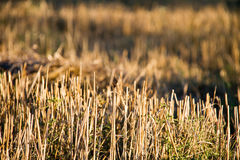 Golden stubble field. Royalty Free Stock Image
