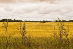 Golden stubble field near Glenburn, Saskatchewan, Canada Royalty Free Stock Photo