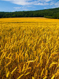 Golden summer field Stock Images