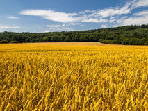 Golden summer field Stock Image