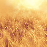 Golden summer field Royalty Free Stock Photo