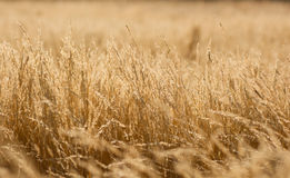 Golden summer grass gackground Stock Photography