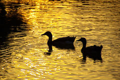 Golden sun and ducks Royalty Free Stock Image