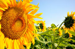 Golden sun flower details Stock Image