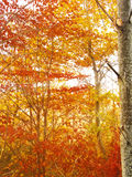Golden sun rays in autumn forest royalty free stock images