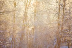 Golden sun rays streaming through snowy forest. Winter landscape royalty free stock photo