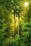 Golden sun shining through fresh foliage. Evening sun shining warmly through trees and illuminating the middle of the frame stock photography