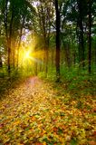 Golden sunbeams in the grove by autumn. Royalty Free Stock Images