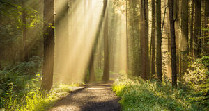 Golden Sunbeams Shining Through Trees In Beautiful English Woodland Forest. Stock Image