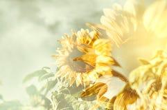 Golden sunburst sunflower Royalty Free Stock Image