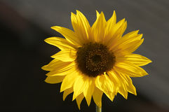 Golden Sunflower. Striking sunflower disected by a diagonal stock image