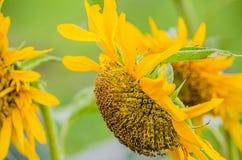Golden Sunflower Stock Photos