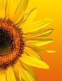 Golden Sunflower Beauty Royalty Free Stock Photo
