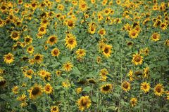 Sunflowers fields in the mountains of Germany, Hettigenbeuern Royalty Free Stock Photography