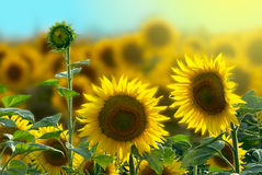 Golden sunflower at dawn Royalty Free Stock Photos