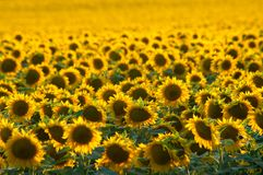 Golden sunflower in the field. Royalty Free Stock Photos