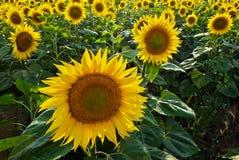 Golden sunflower Royalty Free Stock Photos