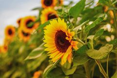 Golden sunflower field in the autumn royalty free stock images