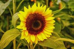 Golden sunflower field in the autumn stock image