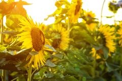 Golden Sunflower field background. Live flowers with green leaves.  stock photography