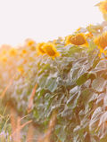 Golden sunflower in the field backlit by rays of setting sun. Stock Images