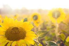Golden sunflower. Royalty Free Stock Photo