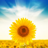 Golden sunflower on field and sunset Royalty Free Stock Photos