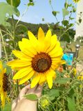 A golden sunflower royalty free stock image