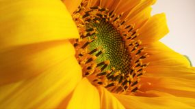 Golden Sunflower off Center. A bright and vibrant close up of the center of a sunflower. Showing lots of details of stamen, pollen and seed development Royalty Free Stock Photo