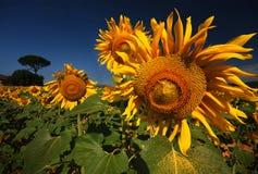 Golden Sunflower Stock Image