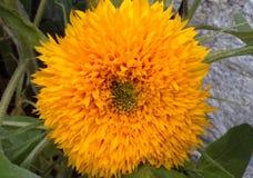 Golden Sunflower Stock Images