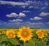 Golden sunflowers. Field under the blue summer cloudy sky Stock Photography